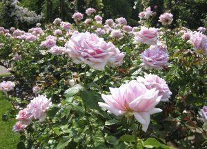 ach jakie piękne róże parkowe